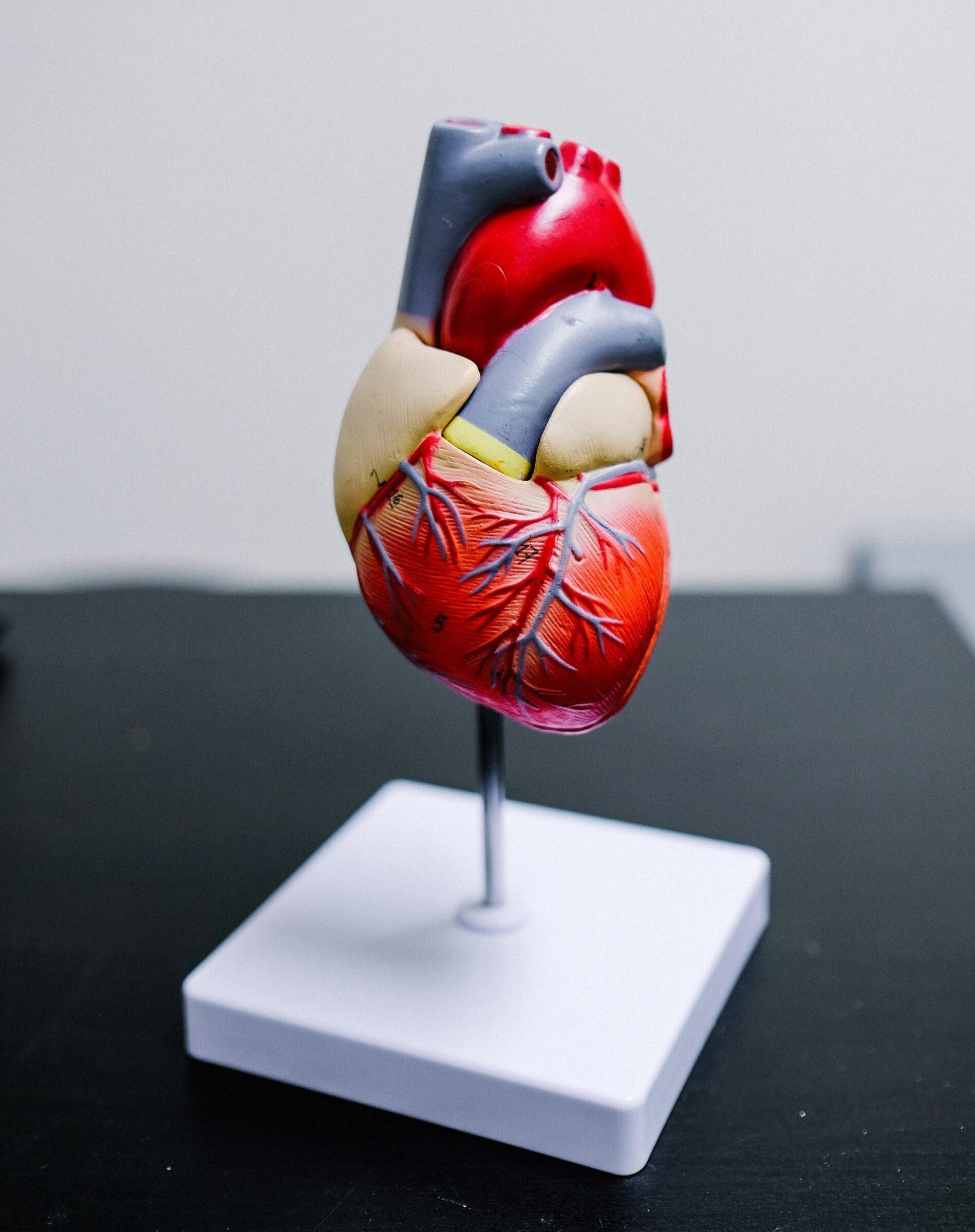 Cardiac Genetic Testing Heart Model